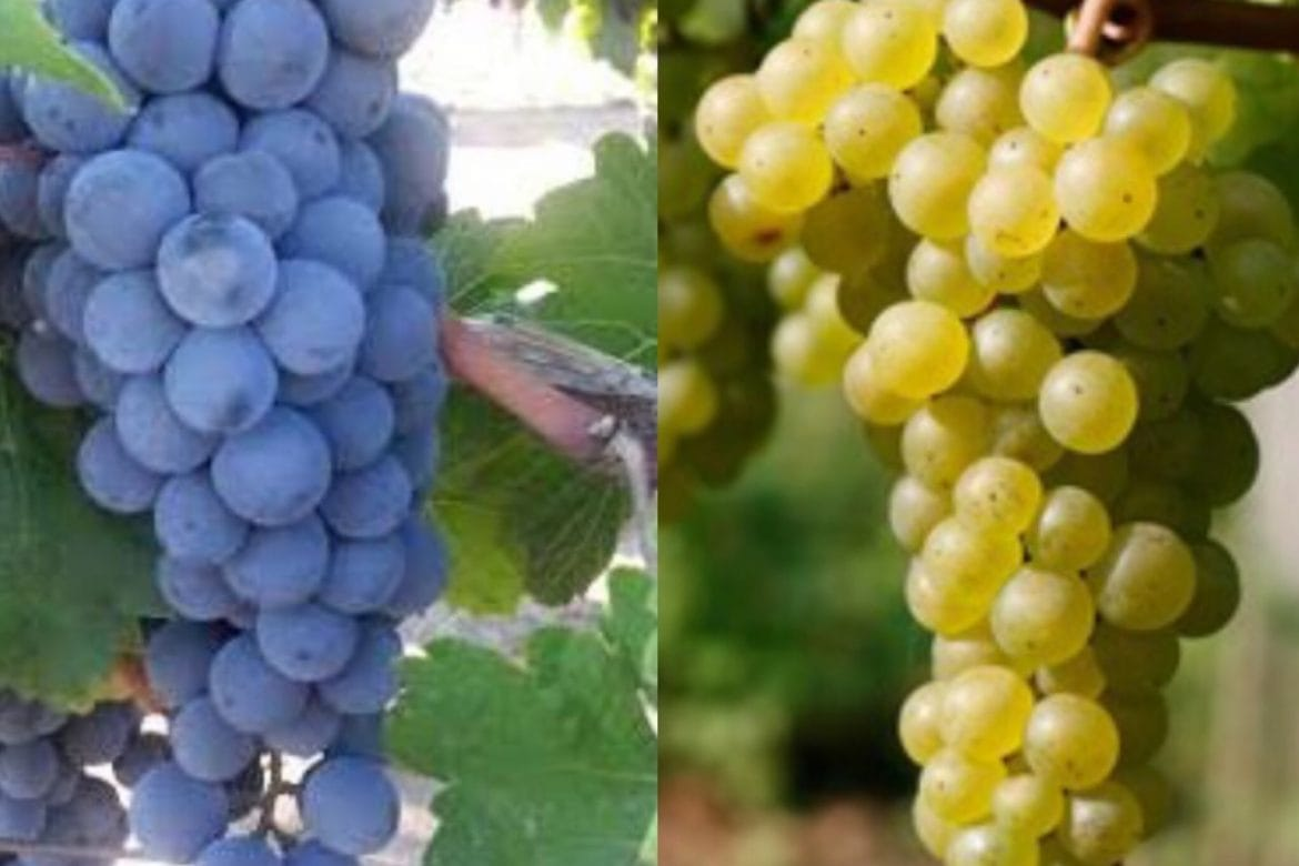 Reflections in a Wine Glass ©: Time to Ditch Pinotage in Favour of Chenin Blanc as South Africa's Signature Grape