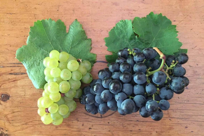 Grape Fun with Chardonnay and Shiraz